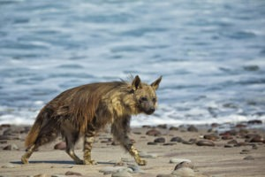 27Shipwreck Lodge Wildlife Brown hyena1