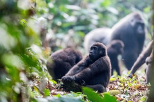republic of congo odzala ngaga camp lowland gorillas 10