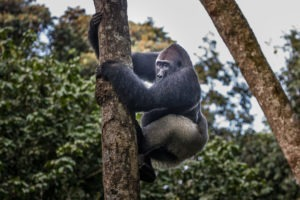 republic of congo odzala ngaga camp lowland gorillas 18