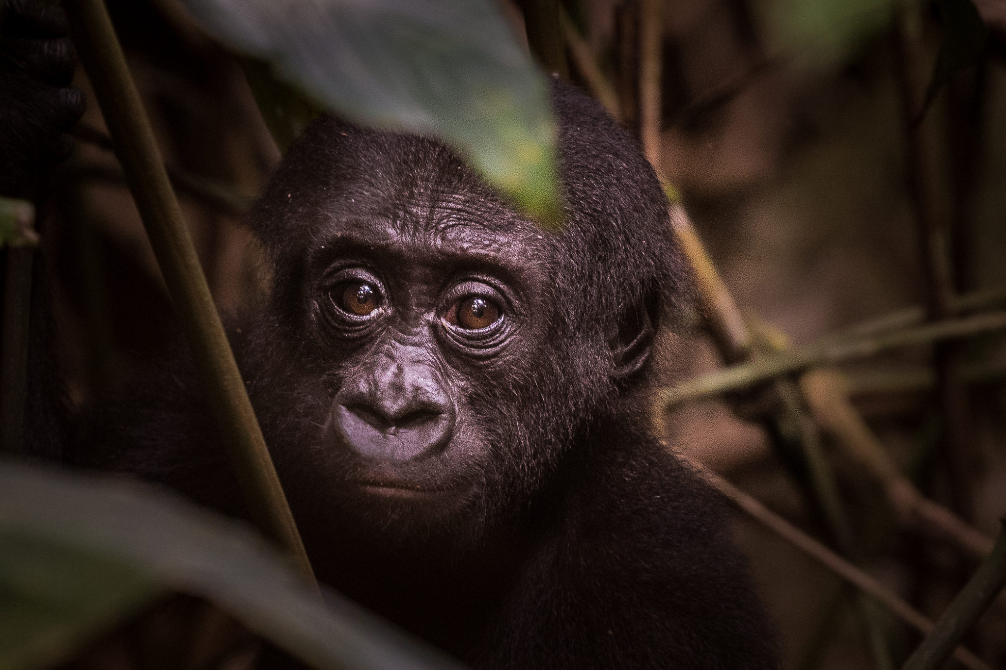 republic of congo odzala ngaga camp lowland gorillas 19