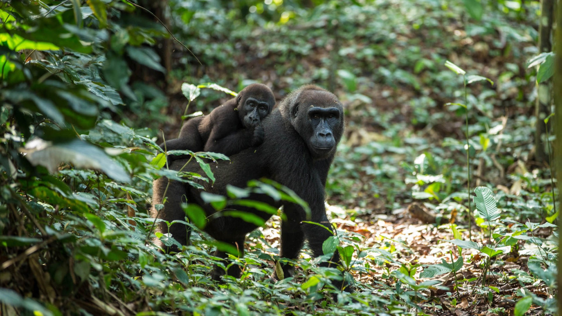 republic of congo odzala ngaga camp lowland gorillas 7