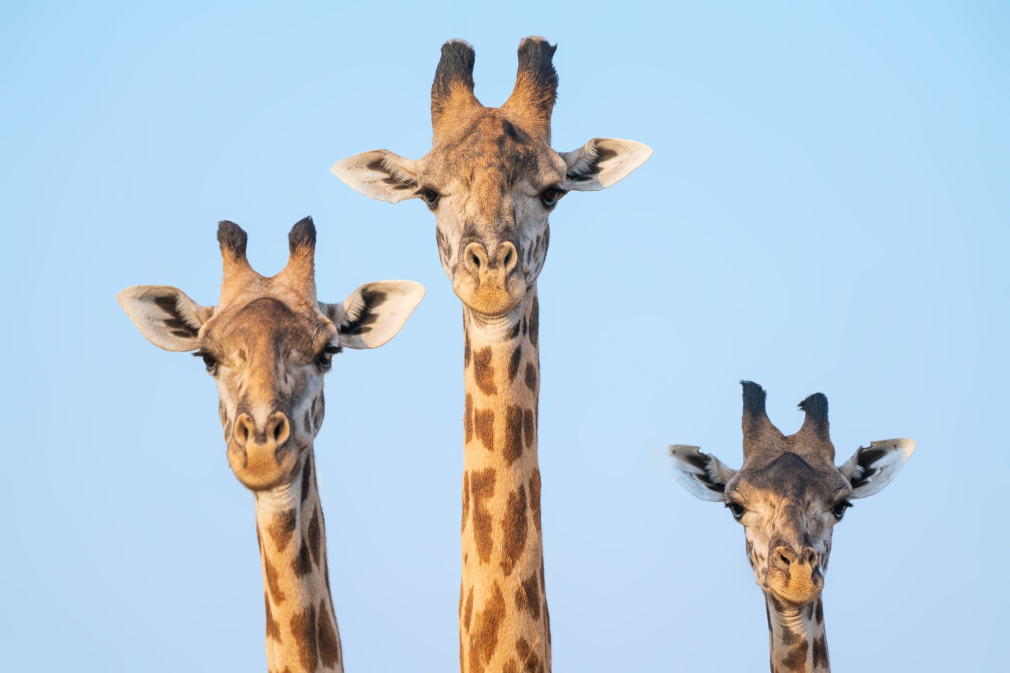 zambia giraffe frank photo safaris inspiration