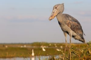 zambia bangweulu wetlands shoebill island camp 21